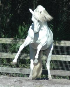 Andalusian Stallion Pecos